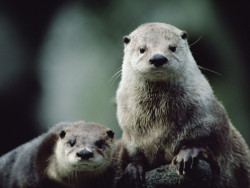 My heart has been won by these cute fellas; The North American river otter (Lontra canadensis) are extremely playful members of the weasel family called Mustelidae. Often, they're seen playing games with their social groups that typically consist of adult females and their pups, or perhaps individual males. Being active mostly at night, they'll only settle in a location with a sufficient amount of vegetation or physical structures. Oh, and there has to be water. Whether it's streams, lakes, reservoirs, wetlands or marine coasts; the requirement is plenty of water.. Oh, and food. Fish, crustaceans, mollusks, insects, birds, frogs, rodents, turtles, seriously just anything that's easy obtained and tastes good. Even after being basically eliminated from a majority of their ranges, they're a species of least concern according to the IUCN Redlist. Now, this doesn't mean habitat degradation and polluted waters doesn't effect them because it sure does, but they've recovered remarkably thanks to reintroduction projects and conservation initiatives like  the River Otter Alliance.