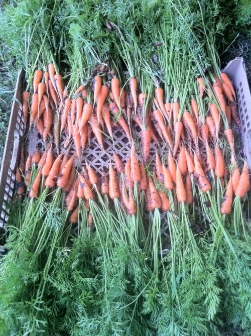 hardcoresandals:  …and back to work.   Line 'em up! #carrots #grown