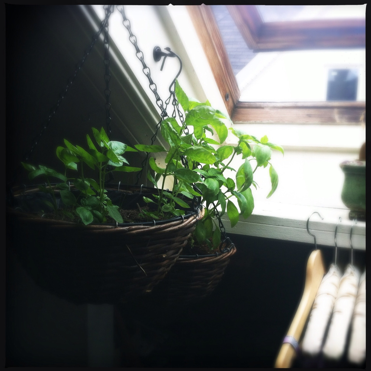 This skylight is helping me keep my basil alive! Now I just need mint growing and this will help my bar.