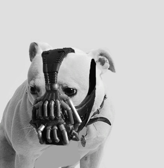 My godson (dog) as Bane.