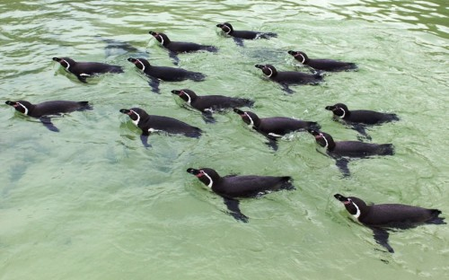 theanimalblog:  Humboldt penguins carry out their synchronised swimming technical routine at Drusillas Park, East Sussex Picture: Drusillas Park