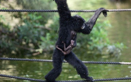 A seven-day-old Siamang gibbon is carried by his mother Jamby at the safari park and zoo in Ramat Gan, Israel Picture: Uriel Sinai/Getty Images