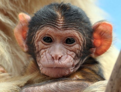 A young Barbary macaque is cared for by its mother at the zoo in Erfurt, Germany Picture: EPA/MARTIN SCHUTT