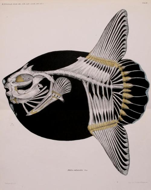 scientificillustration:  Skeleton of Mola Mola as Mola rotunda - the Ocean sunfish Spolia Atlantica. Bidrag til Kundskab om Klump- eller Maanefiskene (Molidae). Japetus Steenstrup and Chr Lutken Published 1898