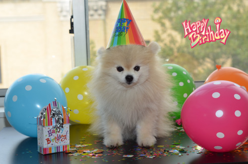 strle:  Happy 11th birthday to my best dog friend, TommyPom!  tommypom:  Guess who's birthday it is? IT'S MINE!! I'm now 11 years old! Hope you all have a beautiful weekend.. Your now grown up pal, Tommypom  I love puppies