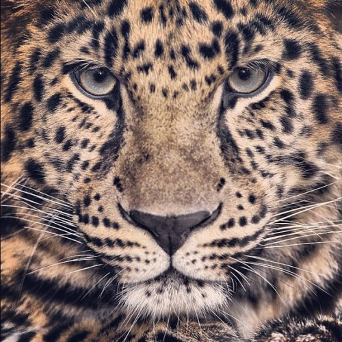 sdzoo:  An animal's eyes have the power to speak a great language. - Martin Buber (Taken with Instagram)