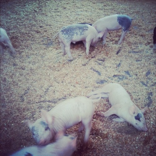 Piglets! #ocfair2012 #animals #Piglets  (Taken with Instagram at OC FAIR 2012)
