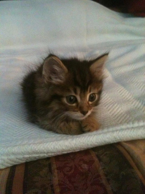 mainstreamduckling:  lasbien:  omgg it's a little fuzz ball  I LOVE KITTIES