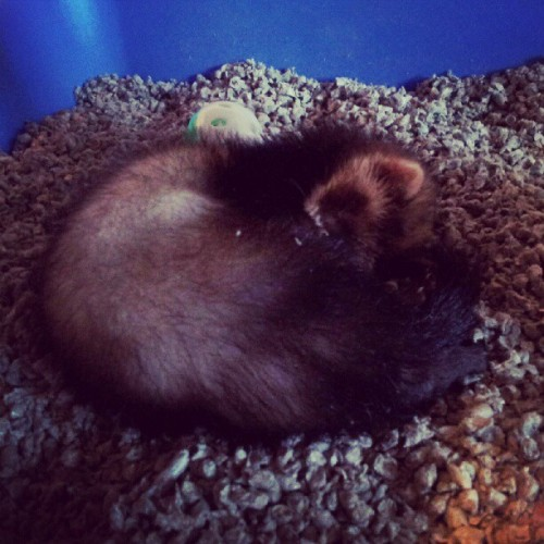 My beautiful little baby girl Scarlet is sleeping finally <3 #ferret #animals #baby  (Taken with Instagram)