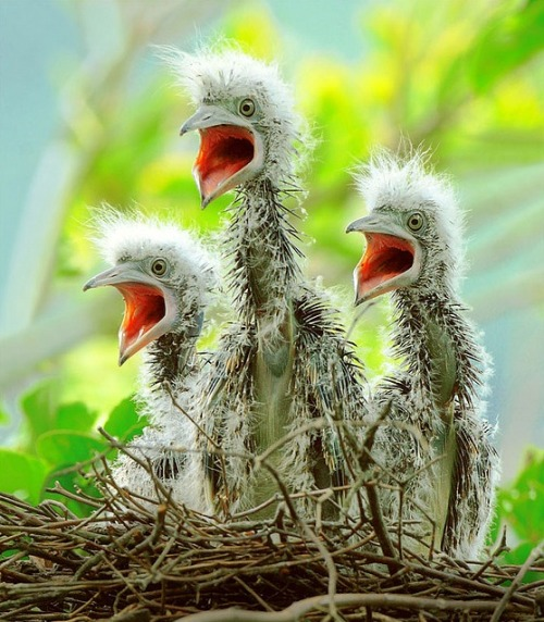 wild-heartedx:  Malayan Night Heron Chicks (John Fish)