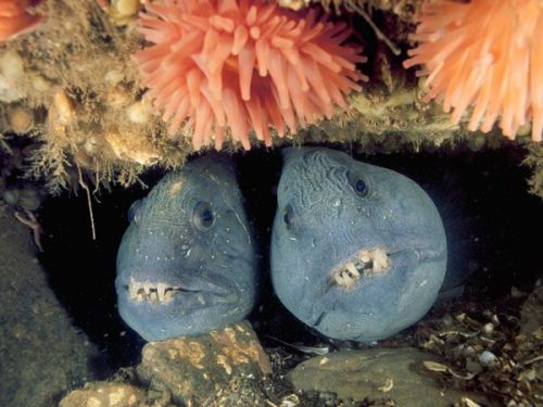 ablankspace:  Deep-Sea-Wolffish-Pair by Jonathan Bird