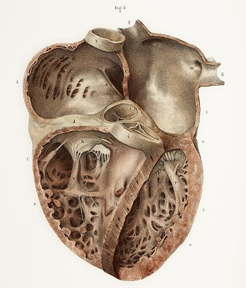 Heart anatomy, 19th Century illustration.