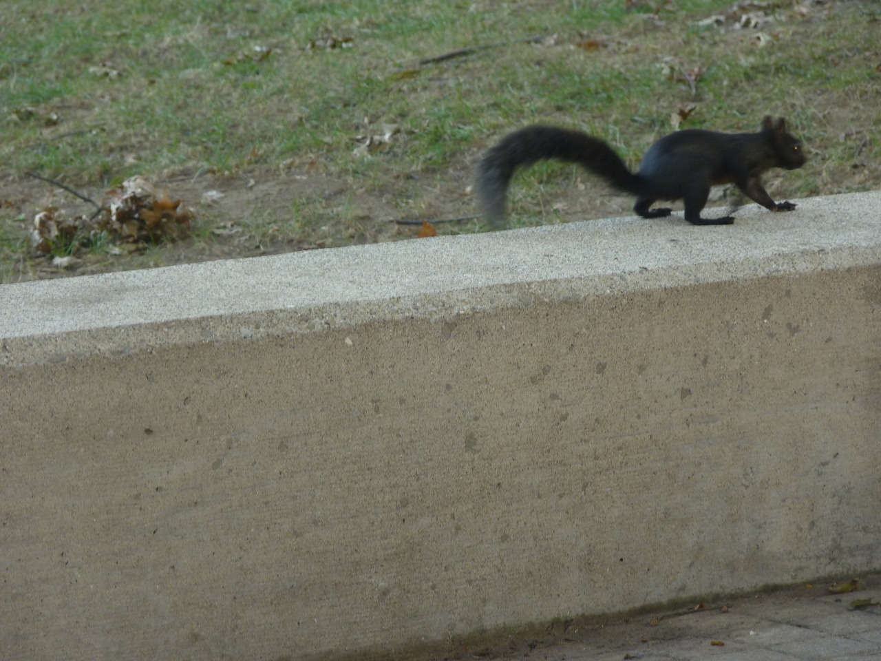 this squirrel i found at the capitol in West Virginia would make an excellent addition to the albino and half albino squirrels running around WKU.