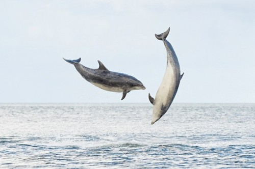 [Bottlenose Dolphins (Terry Whittaker)] TGIF or as we say at United By Blue TGITJD (Thank Goodness it's two jumping dolphins!) Happy weekend everyone!