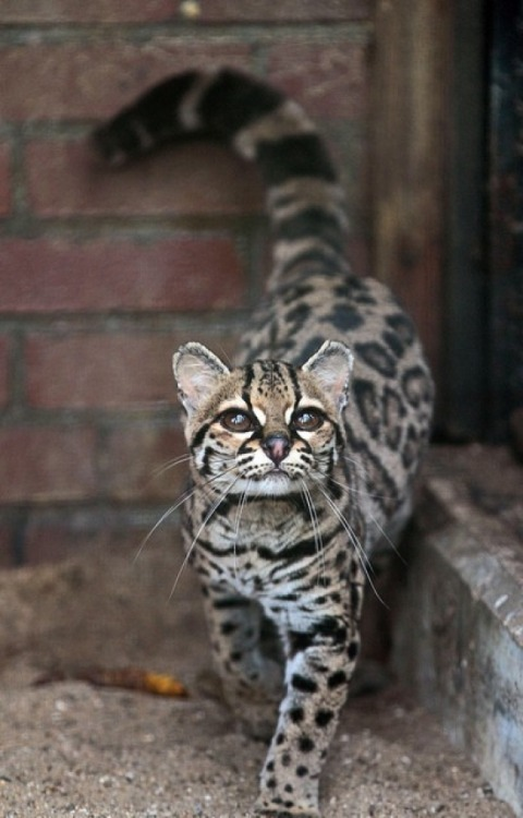 Stunning Margay Cat via:cutestpaw