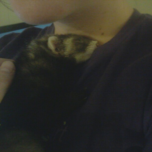 She fell asleep on me :)))) #baby #ferret #furry #sleep #child #animal  (Taken with Instagram)