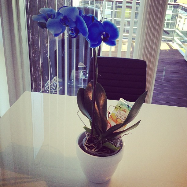 Blue Orchid, gift from my lovely husband ❤ (Taken with Instagram)