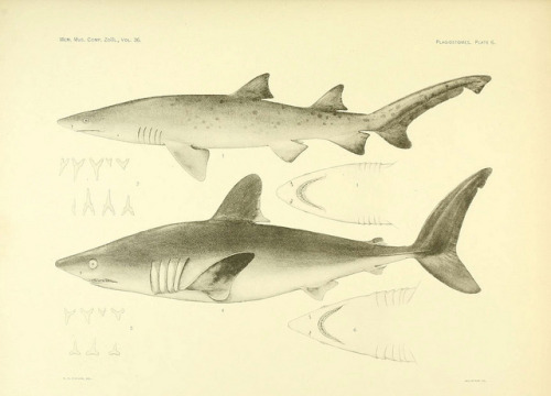 The Plagiostomia : Sharks, skates, and rays by BioDivLibrary on Flickr. Cambridge, U.S.A. :Printed for the Museum,1913.biodiversitylibrary.org/page/4371377