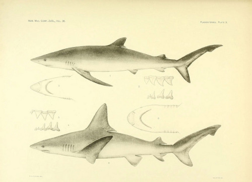 Galeus glaucus now called Prionace glauca the blue shark by BioDivLibrary on Flickr. Blue sharks give birth to live young and can deliver up to 135 pups per litter. Courtship is believed to involve biting by the male, as mature specimens can be accurately sexed according to the presence or absence of bite scarring. Female blue sharks have adapted to the rigorous mating ritual by developing skin 3 times thicker than male skin. The blue shark is listed as Near Threatened by the IUCN The Plagiostomia : Sharks, skates, and raysCambridge, U.S.A. :Printed for the Museum,1913.biodiversitylibrary.org/page/4371365