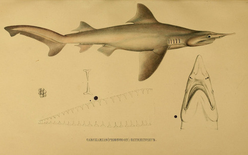 Carcharias oxyrhynchus now called Isogomphodon oxyrhynchus - the Daggernose shark by BioDivLibrary on Flickr. Systematische Beschreibung der Plagiostomen /.Berlin :Veit,1841..biodiversitylibrary.org/page/6353140