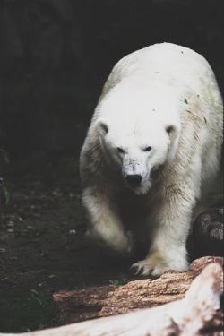 animal polar bear vertical