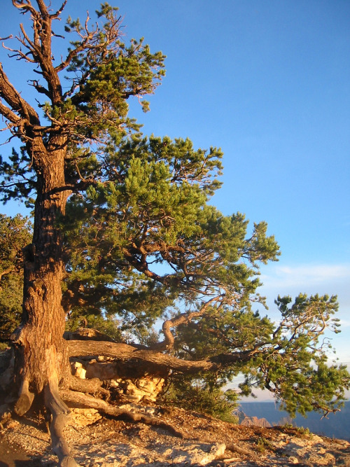 Pinon Pine on Canyon Rim