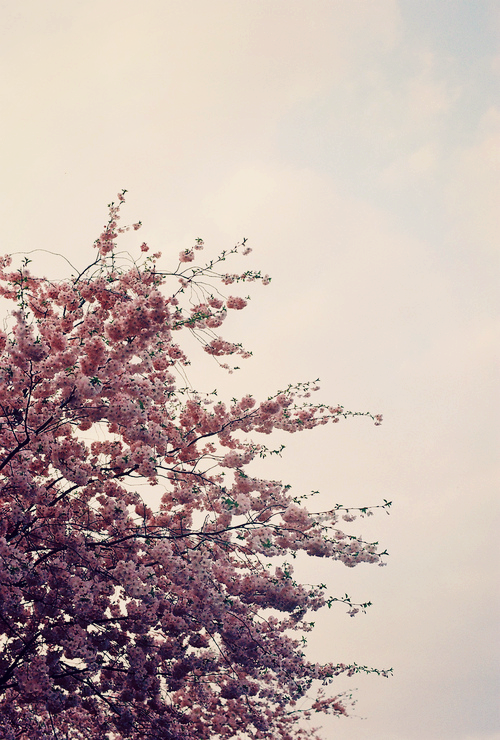 cherry blossom time (by no penny for them)