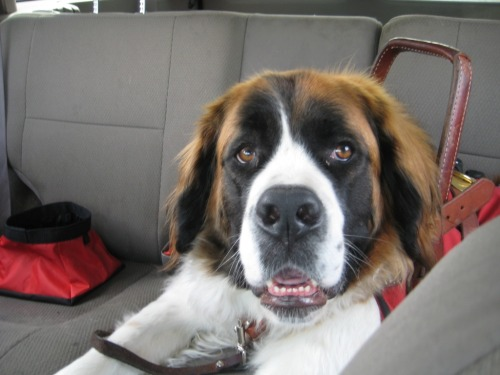 Make: St Bernard Name: Phoebe Notes: 4 years old. Likes bacon, olive oil and yogurt!