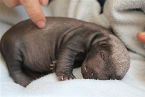(via Meet Badger Girl - the Baby Honey Badger! - ZooBorns) Don't be fooled by the cute exterior!! HONEY BADGER WILL FUCK YOU UP!