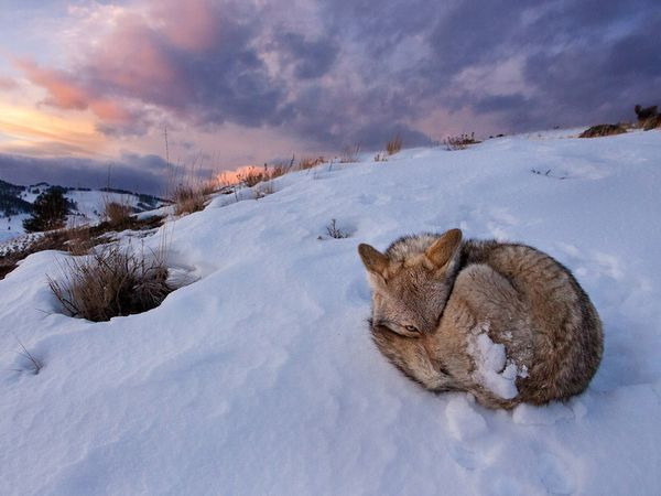 naturexplorer:  Curled up wolf