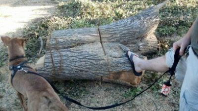 FREE - Epic Section of Tree Trunk (North Highlands)  Date: 2012-08-11, 3:00PM PDTReply to: s3vfr-3199482282@sale.craigslist.org [Errors when replying to ads?]  We are giving away this deee-luxe, large-size section of tree trunk. Be warned! Mere mortals cannot move it! Two brave men have tried, combining their efforts, and could only manage a mere rolling of this mighty log. Now we invite you, brave knight, to come try your hand in this epic tournament of wills. Journey to our driveway at 6109 Georgia Drive (zip code 95660) and face this wooden foe, if you dare. Like the fabled Sword in the Stone of Arthurian legend, this beast is FREE to whoever can move it and claim it as his (or her) own. No need to knock on the door of our castle - in fact, please don't. You'll disturb the dragon. Just ride up on your shining steed (or heavy duty vehicle) and haul it away.  Bring whatever weapon (read: tool, don't bring a weapon) you feel you might need to wage this battle. May we recommend a chainsaw and large truck? What you do with the log is up to you. Maybe… - Take up chainsaw carving. Having used a chainsaw to bring down the log, we have a new-found respect for chainsaw artists. - Sit on it beside a campfire and make some s'mores. A classic. - Stick a piece of glass on it and call it a coffee table. That's sure to start some fun conversations with guests. - Carve out the middle section and use it to give your deceased pet a Viking burial on Lake Natoma. Grog! - Hide it in your roommate's bed. Hilarious. - Put it in the cage of your very, very large snake for scenery. The uses are endless…. The dragon of the house and the foot of the lord of the castle are shown for scale. This log is mighty. Best it, if you can.