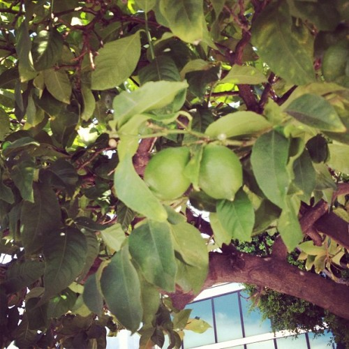 Lime tree on 2nd and La Brea  (Taken with Instagram at Graffiti)