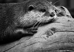 id-rather-be-free:  Otter (by CamMonkeh)