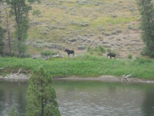 Moose in Wyoming.