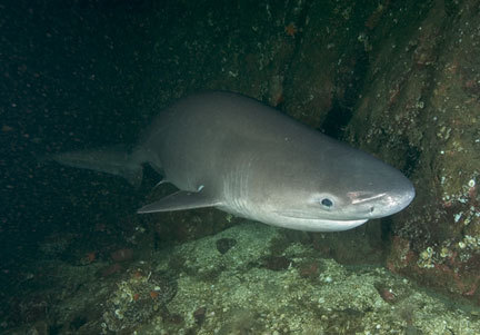 bluntnose sixgill  These sharks are deepsea sharks, but like most fish that prefer the deep, they come to the shallower depths to feed. Although sluggish in nature, the bluntnose sixgill shark is capable of attaining high speeds for chasing and catching its prey. Because of the bluntnose sixgill shark's large and diverse range they have a wide variety of prey items. Their diet consists of a variety of mollusks, crustaceans, Agnathans (which is a family consisting of hagfish), and sea lampreys. They also dine on Cape anchovies, Pacific salmon, various species of hake. There are also many more species that are eaten depending upon the shark's home range. Despite its size, the shark is not known to have eaten any humans. Conservation Status: near threatened.