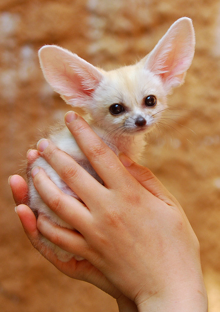 magicalnaturetour:  magicalnaturetour:  Fennec fox by floridapfe on Flickr.:)  Adorable