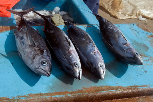 Fresh caught fish, Solomon Islands
