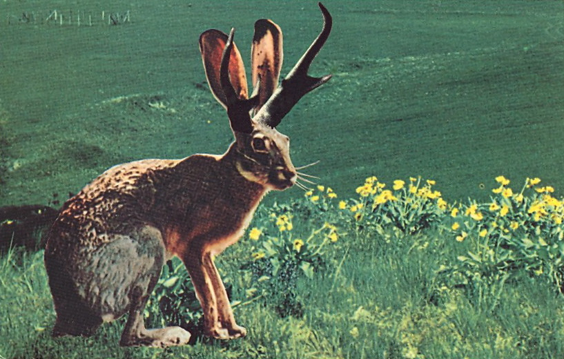 THE FABULOUS JACKALOPE  Jackalopes, one of the rarest animals in North America, are a cross between an Antelope and a species of rabbit. They are extremely shy and wild, and possess the ability to mimic. Their cries often sound human and tuneful.