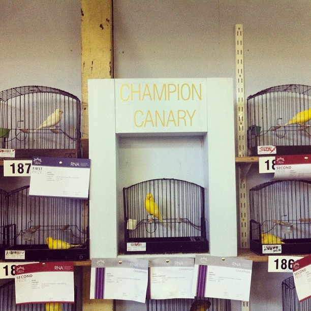 #ekka #canary #birds #bestinshow (Taken with Instagram at RNA Showgrounds)