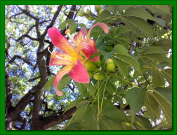 Flor del palo Borracho - The silk floss tree's flower (ceiba crispiflora) by silvia soko on Flickr.