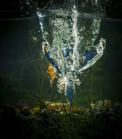 theanimalblog:  The bleu flame dive by Koen Cuppens