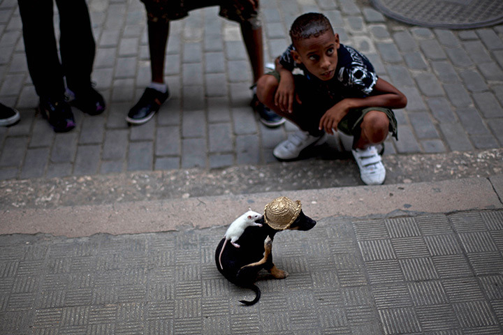 theanimalblog:  Havana, Cuba: a dog wearing a straw hat performs with a mouse on its back Photograph: Ramon Espinosa/AP