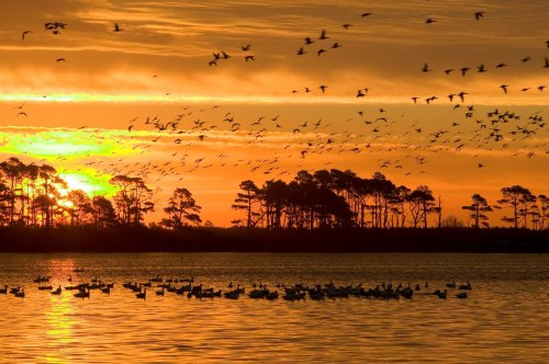 Chincoteague National Wildlife Refuge in Virginia includes more than 14,000 acres of beach, dunes, marsh, and maritime forest. Within a workday's access to millions of people, Chincoteague Refuge is one of the most visited refuges in the United States, providing visitors with outstanding opportunities to learn about and enjoy wildlands and wildlife.Photo: USFWS