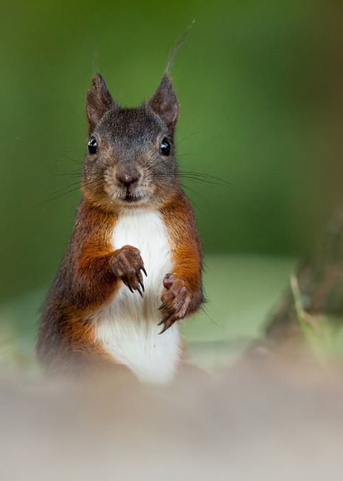 magicalnaturetour:  Cute squirrel by Adamec :)