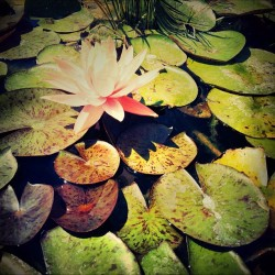#lillypad #nature #beauty #flowers #pond (Taken with Instagram)