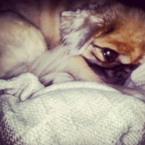I LOVE waking up to this face :) #hopsing #pekingese #peke #snugglebunny (Taken with Instagram)