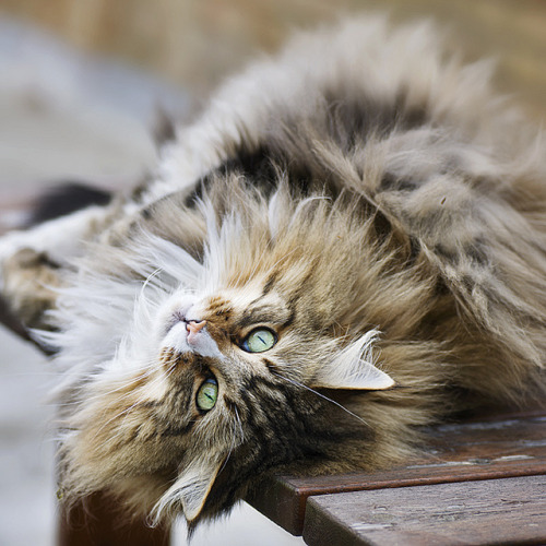 photogenicfelines:  (mammamia_s)  I'm pretty sure this is what my cat Cedric would have looked like if he had ever been fully healthy after we adopted him. He was an old man though and we never got to see him in his prime-healthy years.