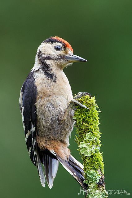 Great Spotted Woodpecker (Dendrocopos major) by markgsmith on Flickr.