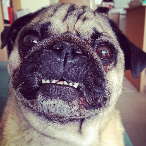 doozy:  Full row of teefs for @abbyshumka! (Instagram)  Oh, pug-teef… terrific.