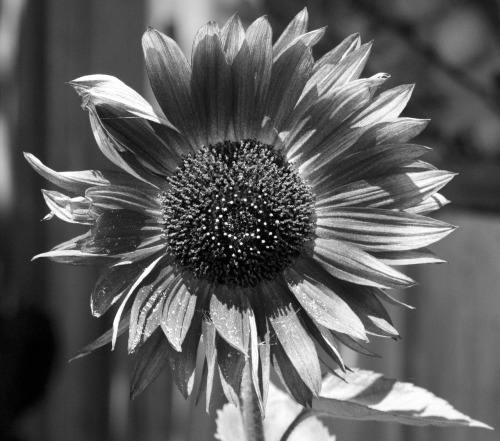 Sunflower in Black & White. Santa Cruz, 08-12-12.